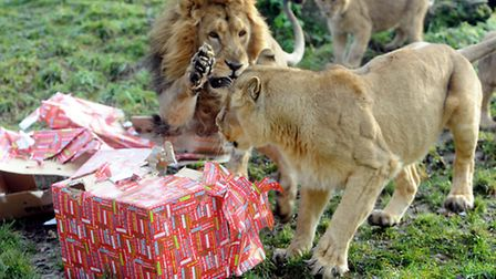 Here comes Santa Paws: Rana the male lion having a rip-roaring Christmas whilst opening the lion's s