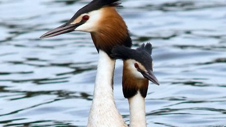 On the up - great crested grebes (copyright Don Sutherland)