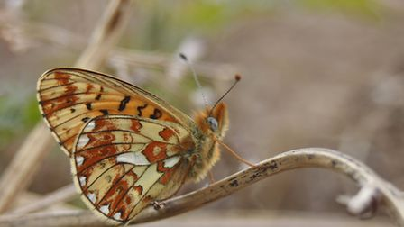 A Kent casualty, the pearl-bordered fritillary (copyright Tamasine Stretton)