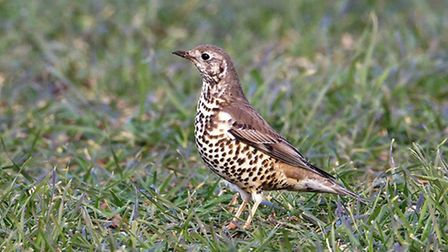 Mistle thrush are one of the earliest birds to nest build