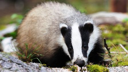 Badgers begin to give birth to cubs in February