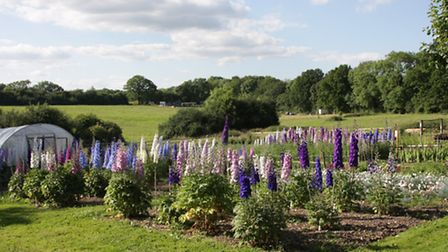 The Delphinium Field at the nursery