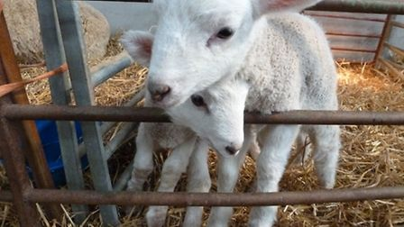 RAU invites families and the local community to find out what happens during lambing season