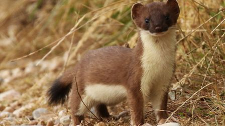 A stoat spotted at the reserve