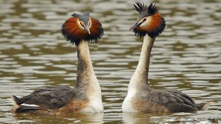 Great crested grebes. Photo: Steve Waterhouse