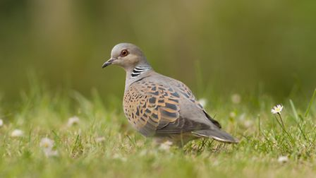 Turtle dove. Photo: Dawn Monrose