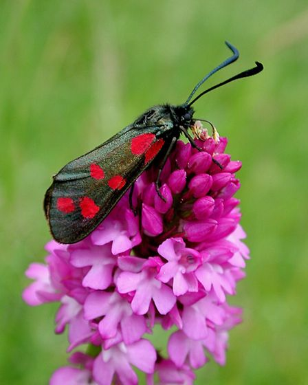 Burnet moth. Photo: Les Binns