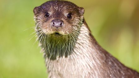 Otters are thought to be inhabiting the Purwell Valley (Thinkstock/iStock/turbohampster)