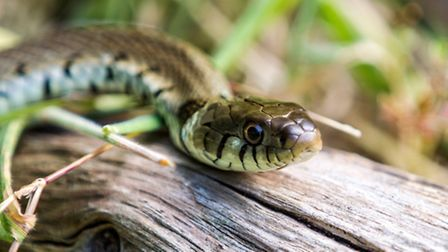 Grass snakes can be identified by the creamy yellow band behind the head (Thinkstock/iStock/stephanm