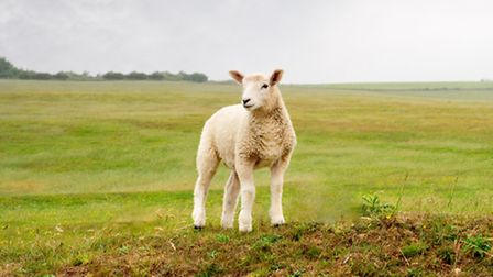 A young lamb standing on a hill