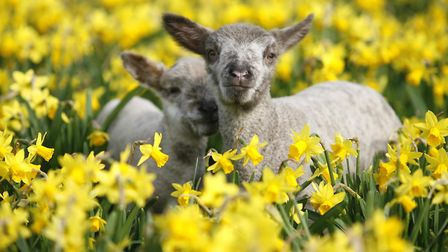 Spring lambs relaxing at Bocketts Farm (Photo: Helen Yates)