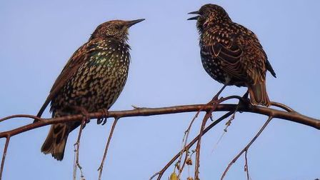 A pair of Starlings