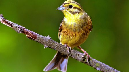 Yellowhammer can be spotted as a flash of gold (photo: ornitolog/iStock)