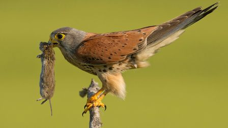 Mice help sustain kestrel on the site (photo: mzphoto11, Getty Images/iStockphoto)