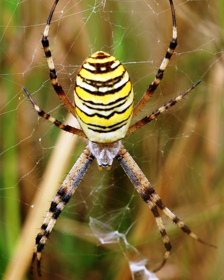 The striking but non-poisonouse wasp spider - new to the area (photo: Eileen Kumpf/iStock)