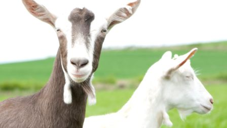 Goats at Delamere Dairy