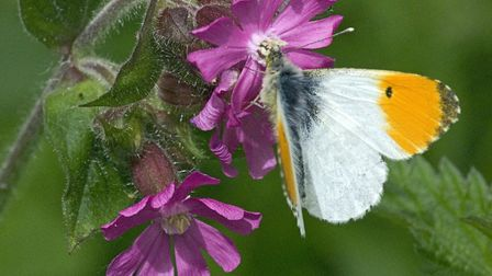 Orange tip butterfly on red campion