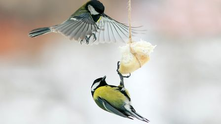 Blue tit feeding on bread - putting food out for birds is not only for the winter (photo: Nataba/iSt
