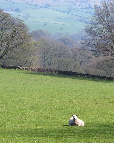 One curious sheep in a field near the start of the walk