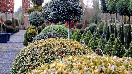 Shapely shrubs at Crown Topiary (photo: Philippa Pearson)