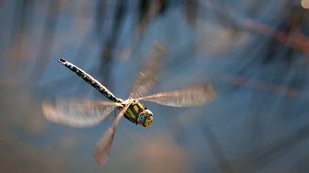 Emperor dragonfly (photo: Rebell, Getty Images/iStockphoto)