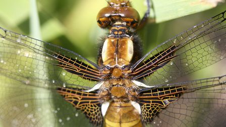 Female road-bodied chaser - it has a characteristically broad and flattened abdomen (photo: David St
