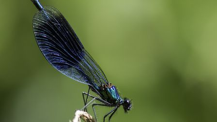 Male banded demoiselle (photo: Ian Dyball, Getty Images/iStockphoto)
