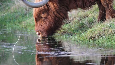 Hothfield Heathland Highland cow (photo: Richard Kinzler)