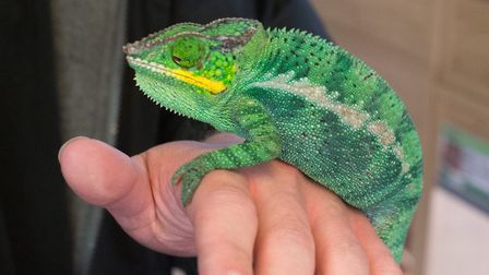 Chameleons will need spraying twice a day to mimic rainfall; this is a Panther chameleon from Madaga