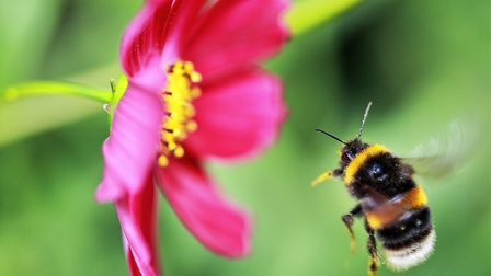 A British favourite - the bumblebee (photo: golfer2015, Getty Images/iStockphoto)
