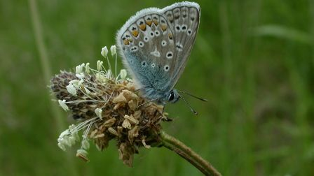 Common blue butterfly (c) Philip Precey