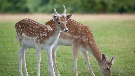 Knole Park is home to a 350-strong deer herd of both Fallow and Sika deer
