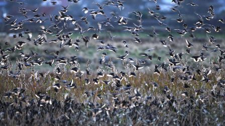 Starlings gather in large numbers at this time of year for protection (photo: Tim Hill)
