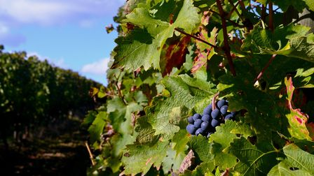 Grapes ready for harvest (Photo: Matthew Williams)