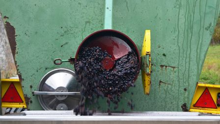 Grapes being juiced at harvest time (Photo: Matthew Williams)
