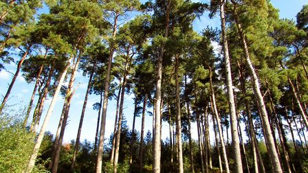 Tall trees, Delamere Forest