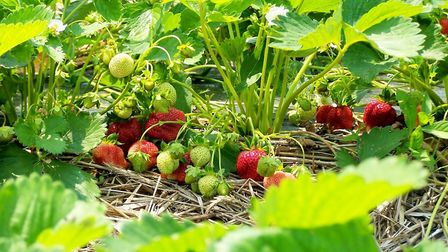 The area was once known for its strawberry trade