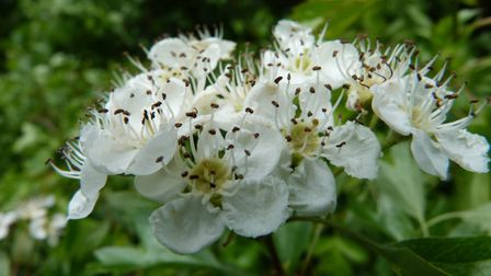 Hawthorn blossom in hedges is a delight for pollinators (c) Claire Huxley