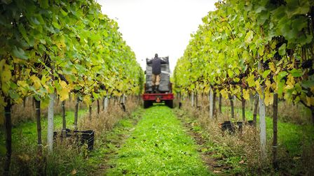 Harvest time at Hattingley Valley Vineyard © The Electric Eye Photography