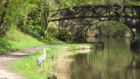 A heron beside the Macclesfield Canal