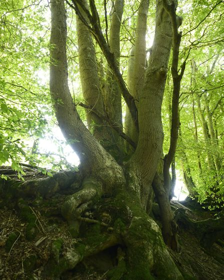 Dying Ash trees in Asholt Wood, near Newington (photo: Archie Miles)