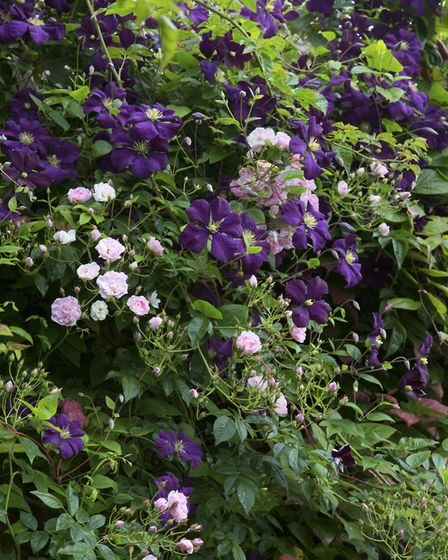 Scrambling roses and clematis are a lovely combination (photo: Leigh Clapp)