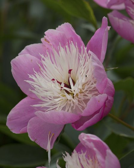 Blowsy pink peonies with snow-white petaloids (photo: Leigh Clapp)