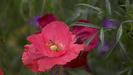 Poppies are insect magnets (photo: Leigh Clapp)