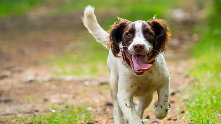 Springer spaniel (c) Nigel Wallace / Getty Images