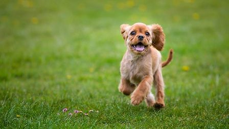 Cavalier King Charles Spaniel (c) FotoES / Getty Images