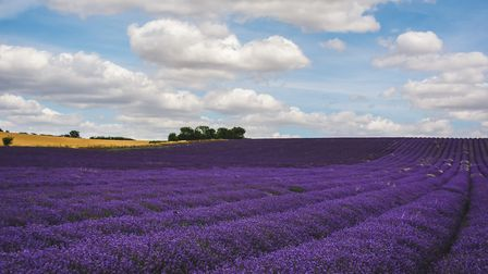 A sensory overload, you''re spoilt for choice at Hitchin Lavender whether macro, wide angle or portr