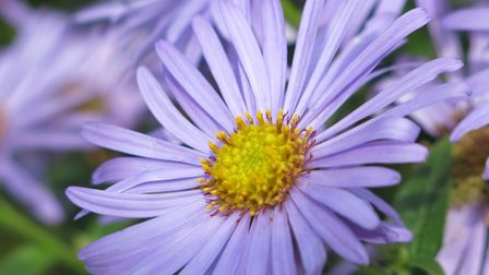 The blue-mauve tones of asters are used as a foil for other plants © Mandy Bradshaw