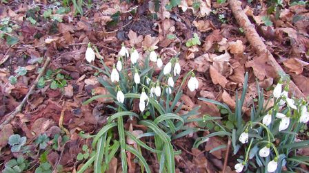 January snowdrops in MIncinglake Valley Park