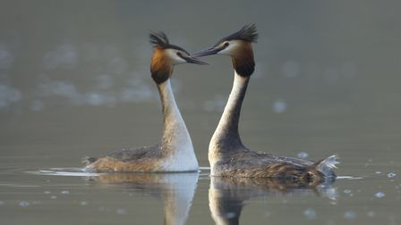 Great crested grebes perform their courtship ritual